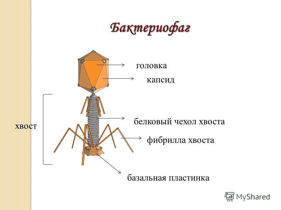 головка Бактериофаг капсид хвост белковый чехол хвоста базальная пластинка фибрилла хвоста