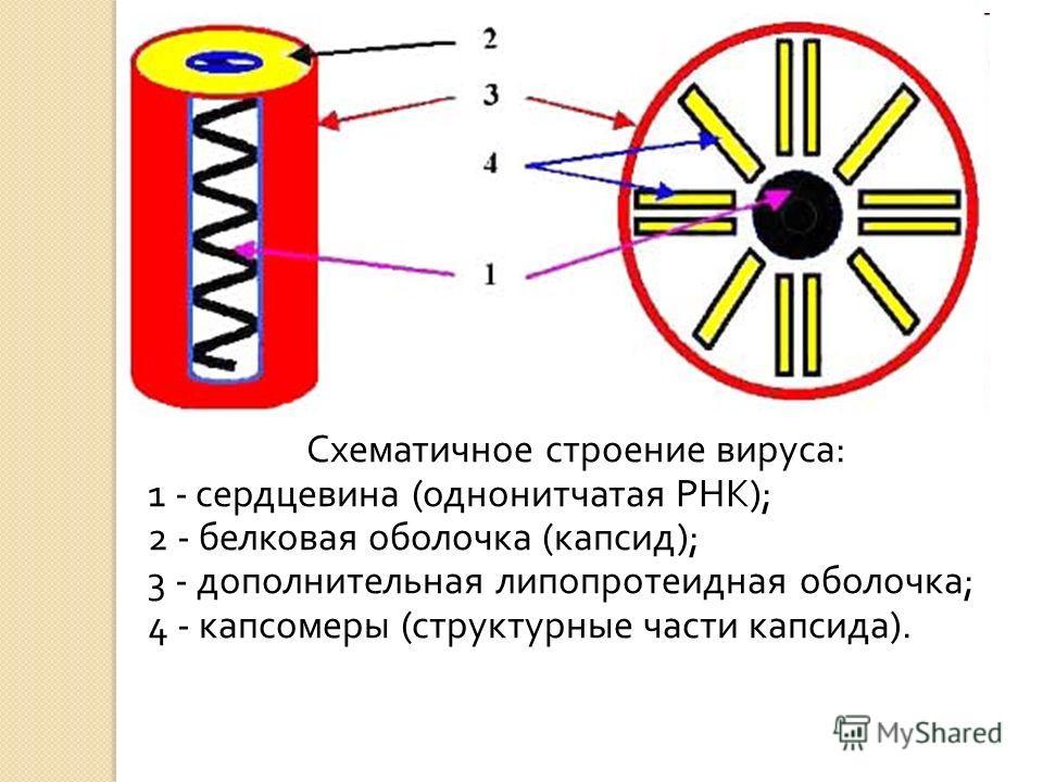 Схематичное строение вируса : 1 - сердцевина ( однонитчатая РНК ); 2 - белковая оболочка ( капсид ); 3 - дополнительная липопротеидная оболочка ; 4 - капсомеры ( структурные части капсида ).