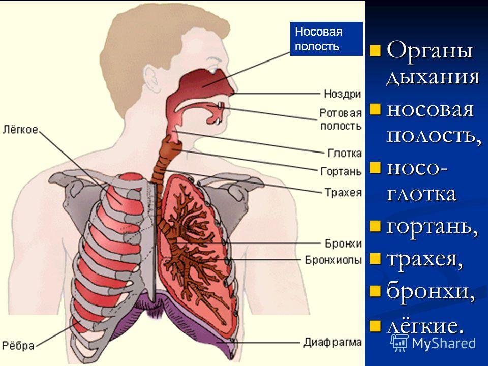 Носовая полость Органы дыхания Органы дыхания носовая полость, носовая полость, носо- глотка носо- глотка гортань, гортань, трахея, трахея, бронхи, бронхи, лёгкие. лёгкие.