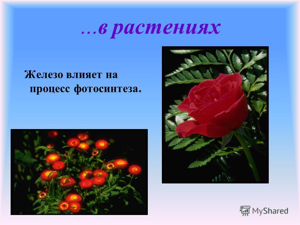 … в растениях Железо влияет на процесс фотосинтеза.