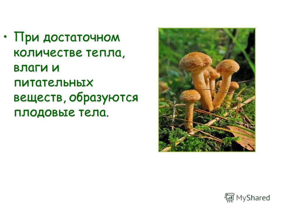 При достаточном количестве тепла, влаги и питательных веществ, образуются плодовые тела.При достаточном количестве тепла, влаги и питательных веществ, образуются плодовые тела.