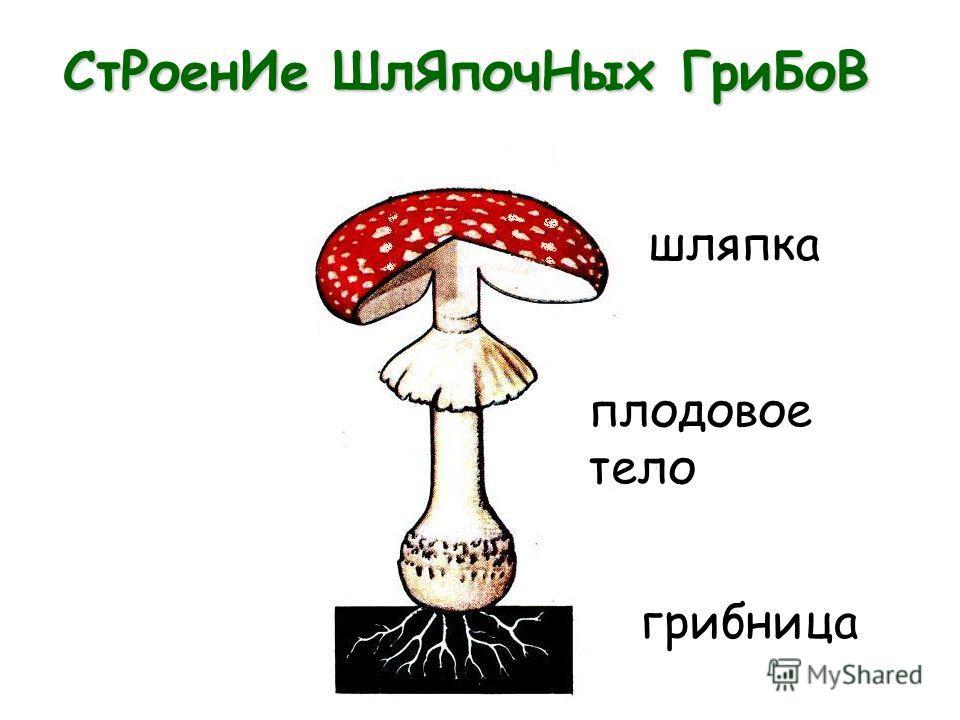 СтРоенИе ШлЯпочНых ГриБоВ шляпка плодовое тело грибница
