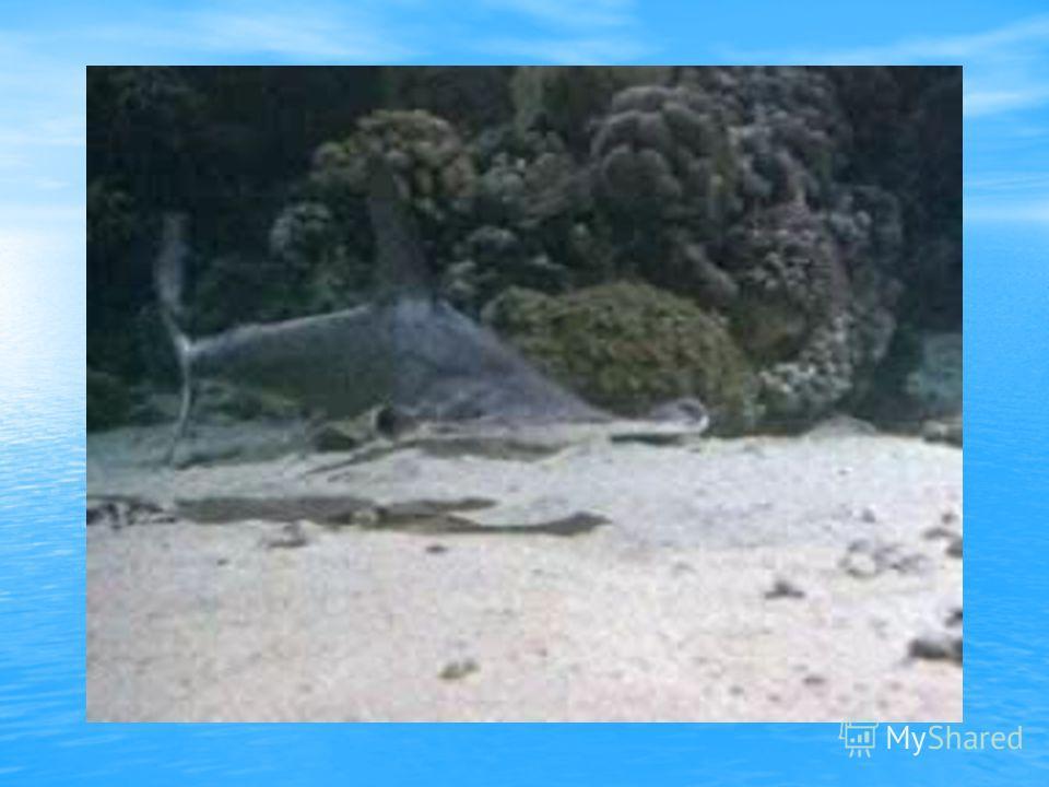 гигантская акула-молот, тигровая акула, рифовая акула. Верхний ряд – слева направо: гигантская акула-молот, тигровая акула, рифовая акула. Нижний ряд – слева направо: американская кунья акула, леопардовая акула, звёздчатая кошачья акула
