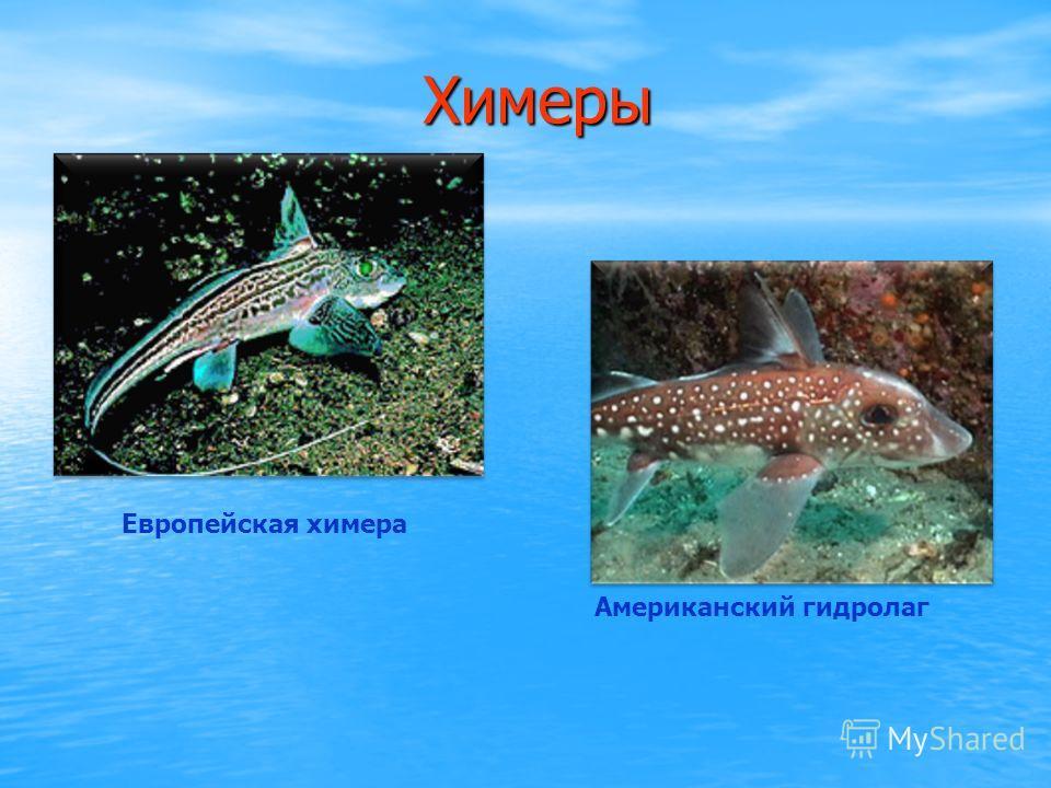 Скаты Верхний ряд, слева направо: обыкновенная пила-рыба, ромбовый скат, пятнистый орляк. Нижний ряд - гигантский морской дьявол (манта), американский скат-хвостокол, обыкновенный электрический скат