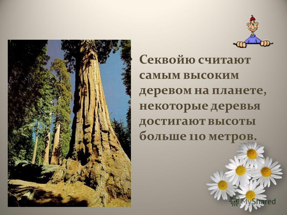 Секвойю считают самым высоким деревом на планете, некоторые деревья достигают высоты больше 110 метров.