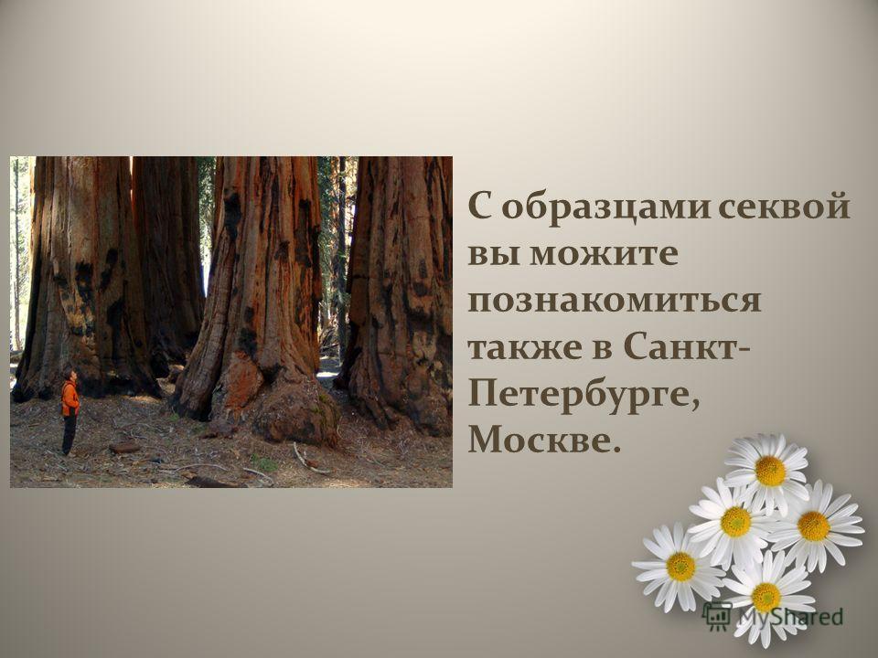 С образцами секвой вы можите познакомиться также в Санкт- Петербурге, Москве.