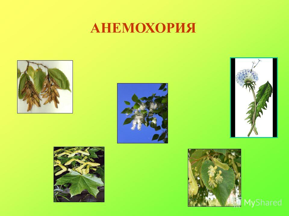 АНЕМОХОРИЯ