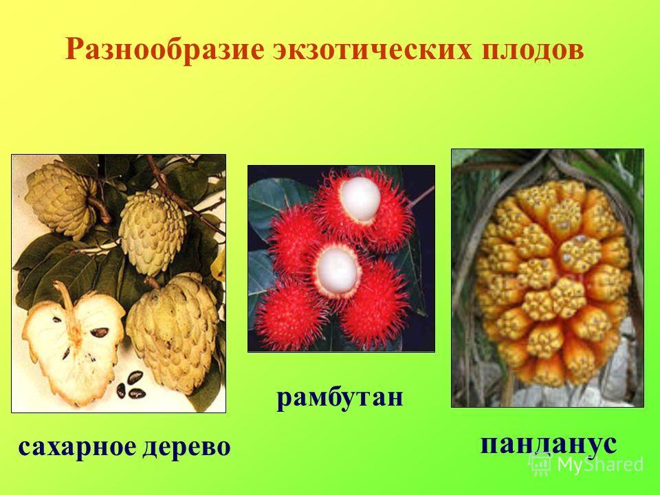 Разнообразие экзотических плодов панданус сахарное дерево рамбутан