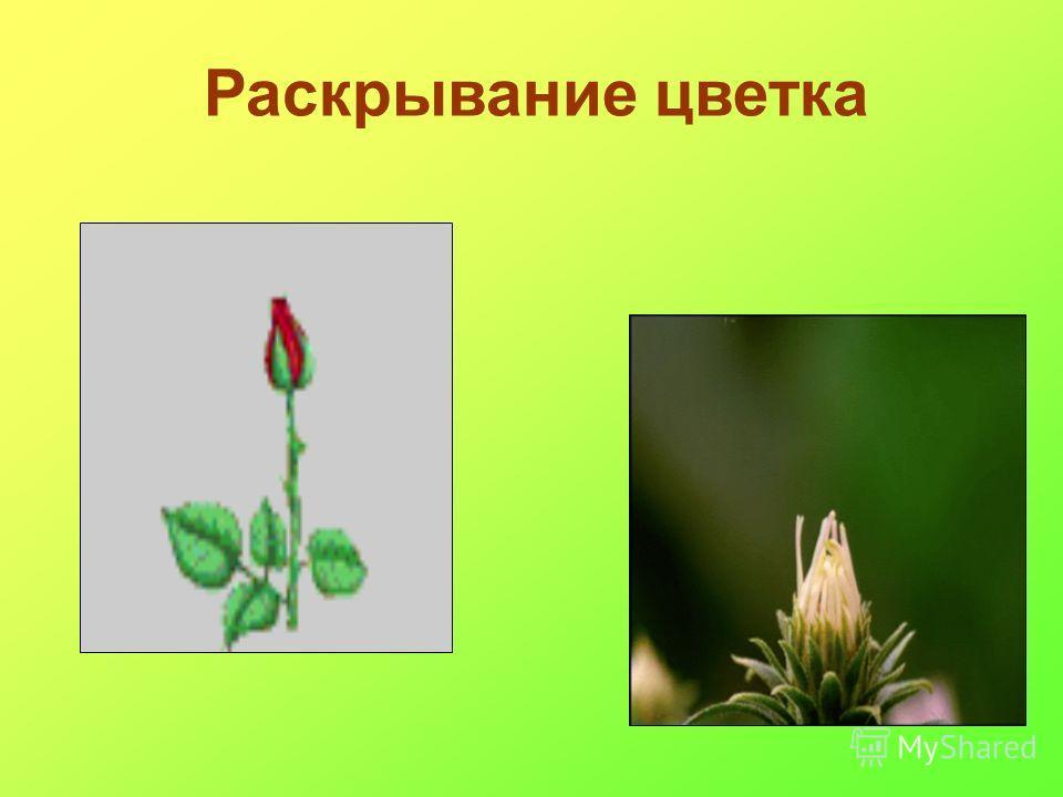 Раскрывание цветка