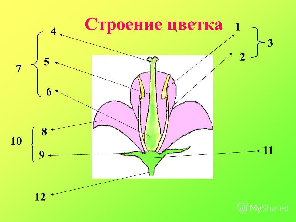 Строение цветка 1 2 3 4 5 6 7 8 9 10 11 12