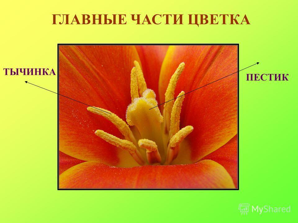 Части цветка пестик тычинка