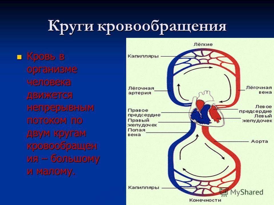 Круги кровообращения Кровь в организме человека движется непрерывным потоком по двум кругам кровообращен ия – большому и малому. Кровь в организме человека движется непрерывным потоком по двум кругам кровообращен ия – большому и малому.