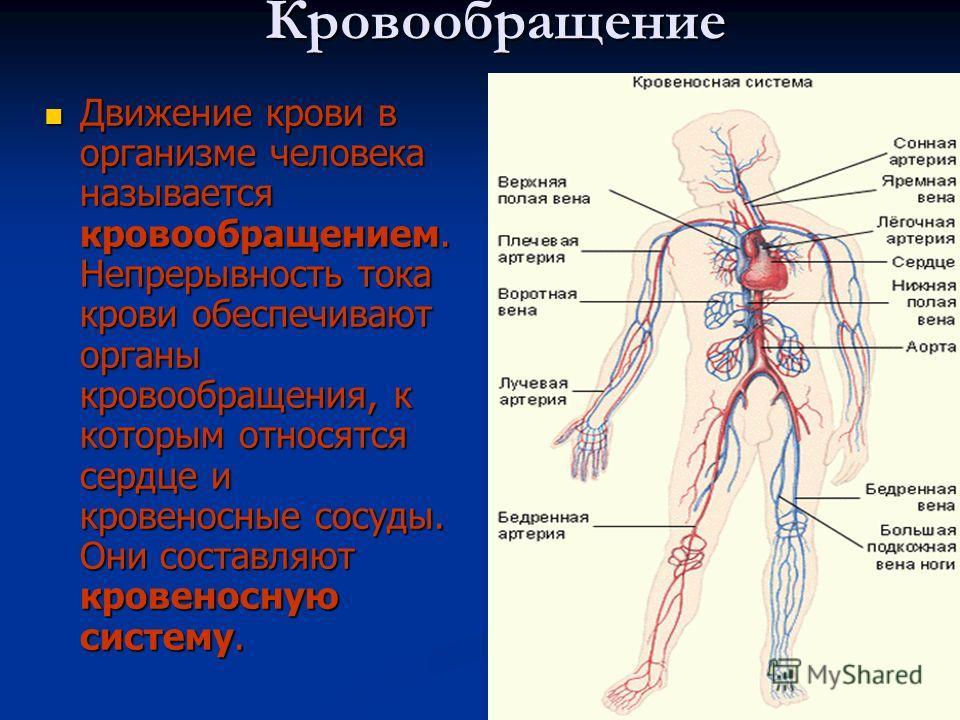 Кровообращение Движение крови в организме человека называется кровообращением. Непрерывность тока крови обеспечивают органы кровообращения, к которым относятся сердце и кровеносные сосуды. Они составляют кровеносную систему. Движение крови в организм