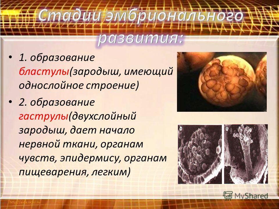 1. образование бластулы(зародыш, имеющий однослойное строение) 2. образование гаструлы(двухслойный зародыш, дает начало нервной ткани, органам чувств, эпидермису, органам пищеварения, легким)