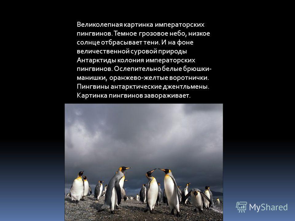 Великолепная картинка императорских пингвинов. Темное грозовое небо, низкое солнце отбрасывает тени. И на фоне величественной суровой природы Антарктиды колония императорских пингвинов. Ослепительно белые брюшки- манишки, оранжево-желтые воротнички.
