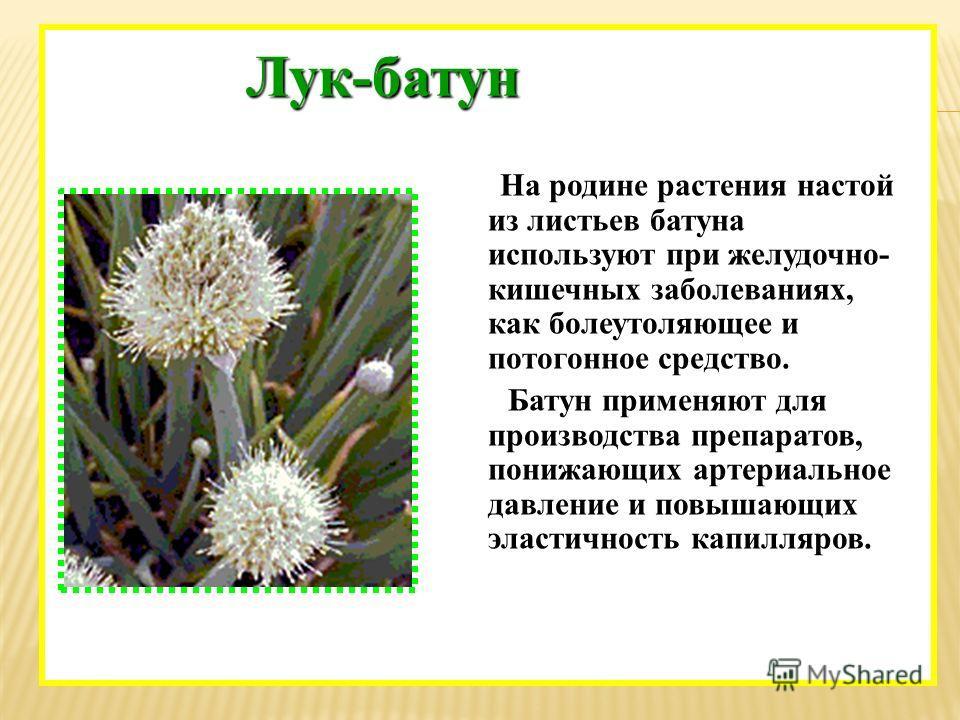На родине растения настой из листьев батуна используют при желудочно- кишечных заболеваниях, как болеутоляющее и потогонное средство. Батун применяют для производства препаратов, понижающих артериальное давление и повышающих эластичность капилляров.