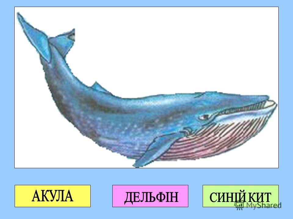 Найбільша тварина на Землі мешкає в океані. Хто це? Усі кити живляться рибою або планктоном. А чи знаєш ти, що планктон – це... Існують 2 види китів: зубаті та вусаті кити. Чи знаєш ти їх? Відомо, що усі кити дихають легенями. Чому над водою часто мо
