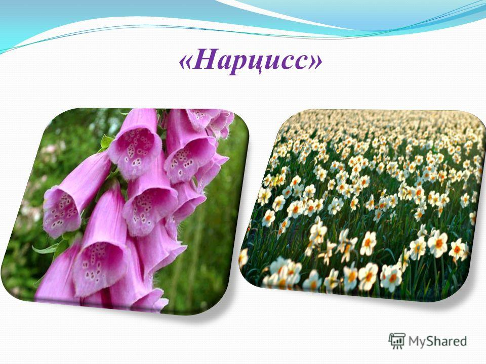 «Нарцисс»