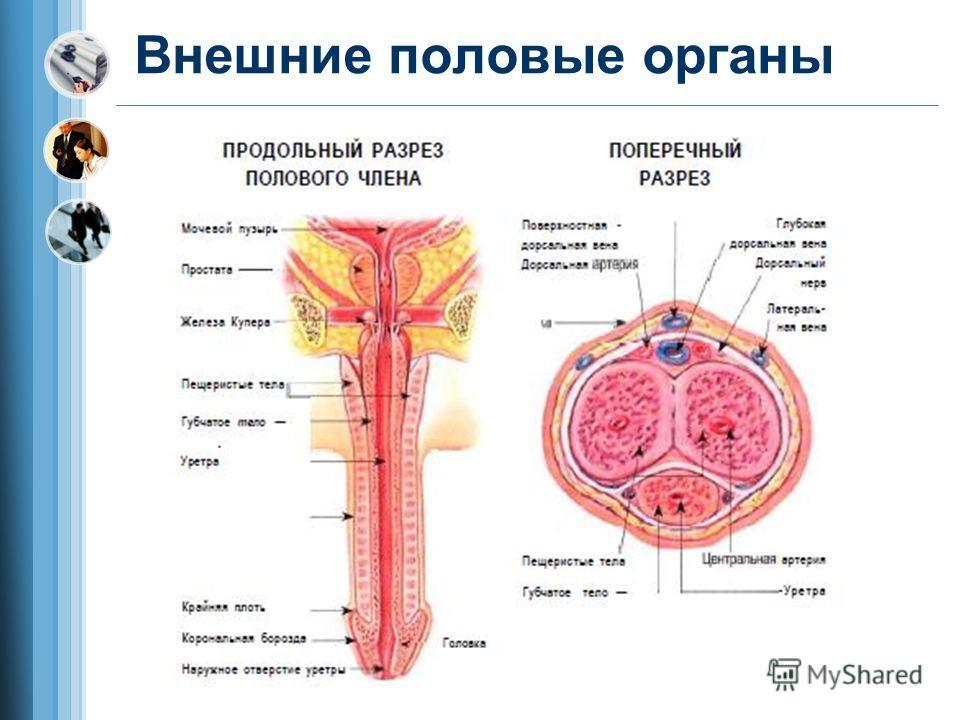 Внешние половые органы