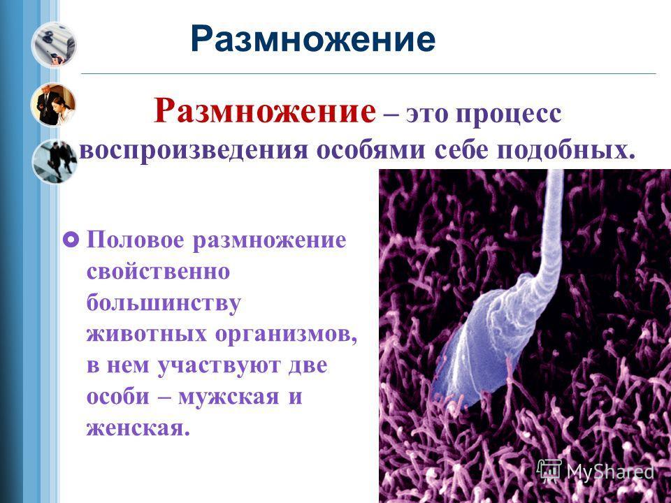 Размножение Половое размножение свойственно большинству животных организмов, в нем участвуют две особи – мужская и женская. Размножение – это процесс воспроизведения особями себе подобных.