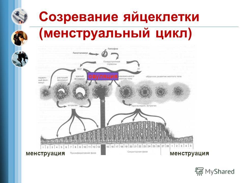 Созревание яйцеклетки (менструальный цикл) менструация овуляция