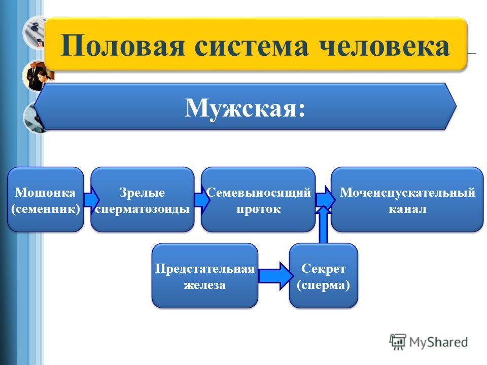 Половая система человека Мужская: Мочеиспускательный канал Семевыносящий проток Зрелые сперматозоиды Мошонка (семенник) Секрет (сперма) Предстательная железа
