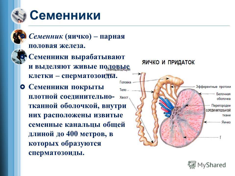 Семенники Семенник (яичко) – парная половая железа. Семенники вырабатывают и выделяют живые половые клетки – сперматозоиды. Семенники покрыты плотной соединительно- тканной оболочкой, внутри них расположены извитые семенные канальцы общей длиной до 4