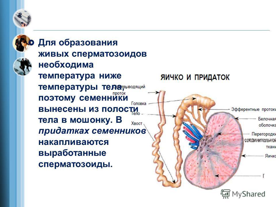 Для образования живых сперматозоидов необходима температура ниже температуры тела, поэтому семенники вынесены из полости тела в мошонку. В придатках семенников накапливаются выработанные сперматозоиды.