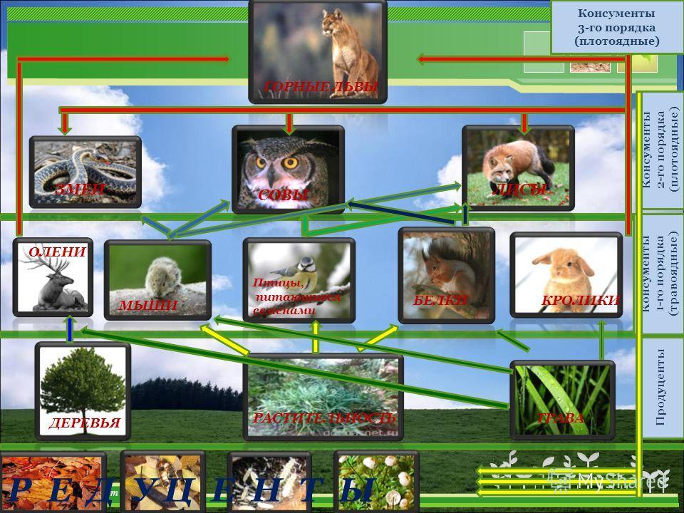 ТРАВАРАСТИТЕЛЬНОСТЬ ДЕРЕВЬЯ МЫШИ ОЛЕНИ БЕЛКИКРОЛИКИ Птицы, питающиеся семенами ЗМЕИ СОВЫ ЛИСЫ ГОРНЫЕ ЛЬВЫ Консументы 3-го порядка (плотоядные) Консументы 2-го порядка (плотоядные) Консументы 1-го порядка (травоядные) Продуценты Р Е Д У Ц Е Н Т Ы