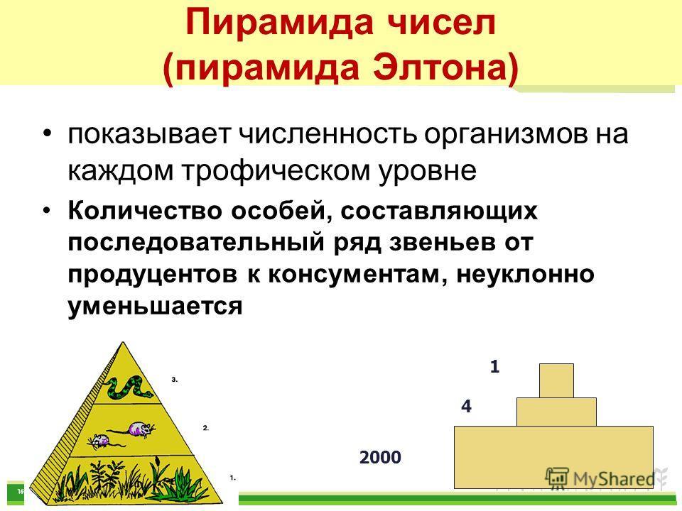 www.themegallery.com Пирамида чисел (пирамида Элтона) показывает численность организмов на каждом трофическом уровне Количество особей, составляющих последовательный ряд звеньев от продуцентов к консументам, неуклонно уменьшается 1 4 2000