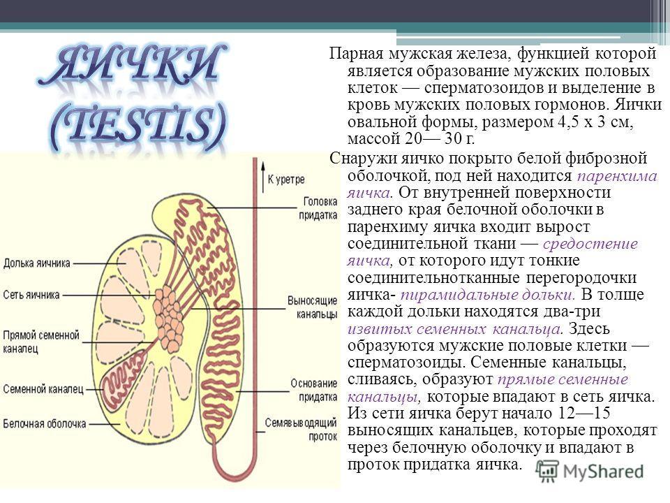 Парная мужская железа, функцией которой является образование мужских половых клеток сперматозоидов и выделение в кровь мужских половых гормонов. Яички овальной формы, размером 4,5 х 3 см, массой 20 30 г. Снаружи яичко покрыто белой фиброзной оболочко
