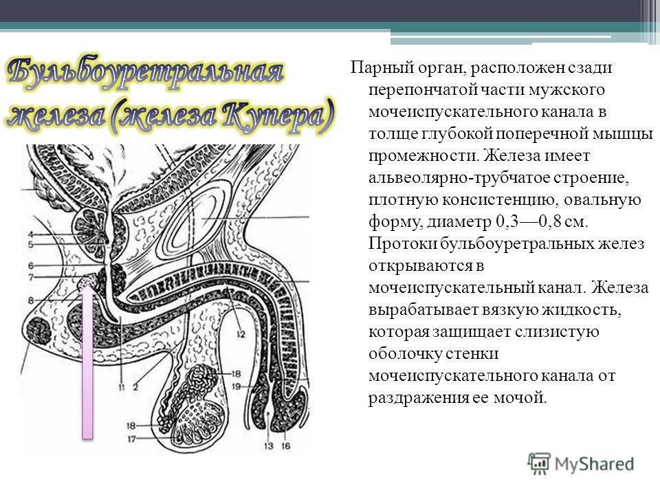 Парный орган, расположен сзади перепончатой части мужского мочеиспускательного канала в толще глубокой поперечной мышцы промежности. Железа имеет альвеолярно-трубчатое строение, плотную консистенцию, овальную форму, диаметр 0,30,8 см. Протоки бульбоу
