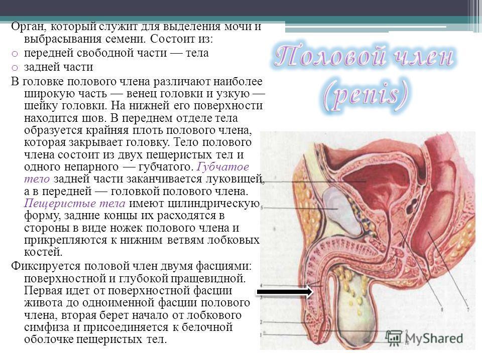 Орган, который служит для выделения мочи и выбрасывания семени. Состоит из: o передней свободной части тела o задней части В головке полового члена различают наиболее широкую часть венец головки и узкую шейку головки. На нижней его поверхности находи