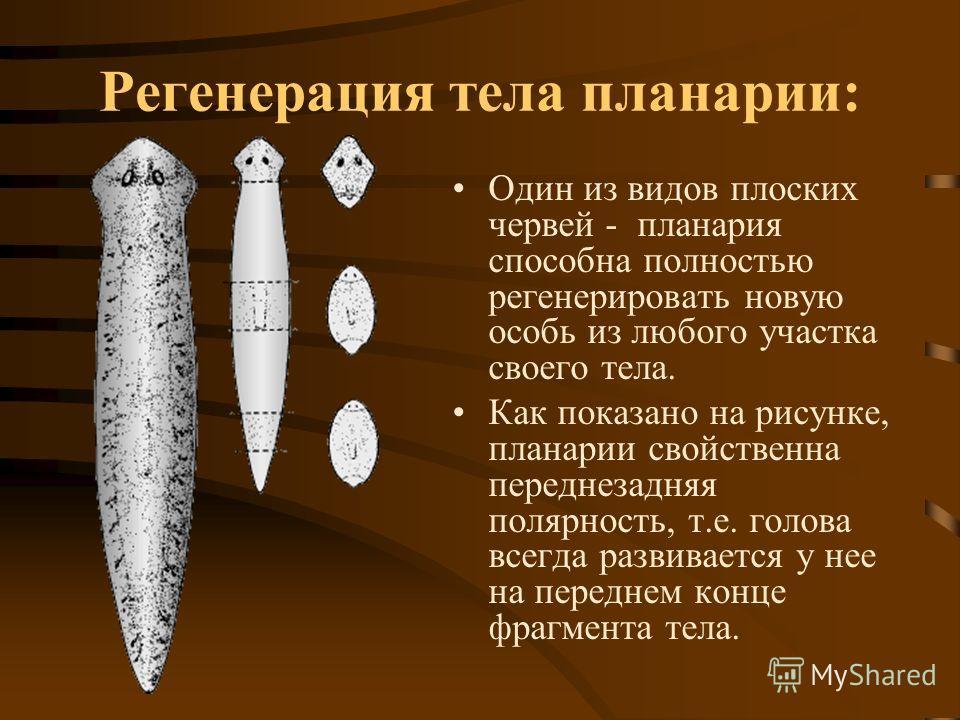 Регенерация тела планарии: Один из видов плоских червей - планария способна полностью регенерировать новую особь из любого участка своего тела. Как показано на рисунке, планарии свойственна переднезадняя полярность, т.е. голова всегда развивается у н