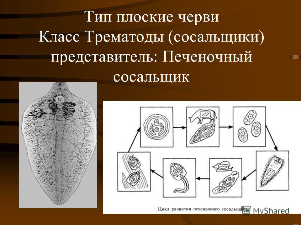 Тип плоские черви Класс Трематоды (сосальщики) представитель: Печеночный сосальщик