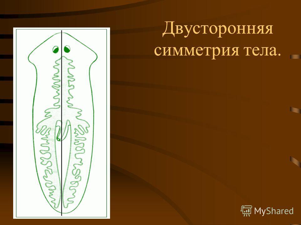 Двусторонняя симметрия тела.
