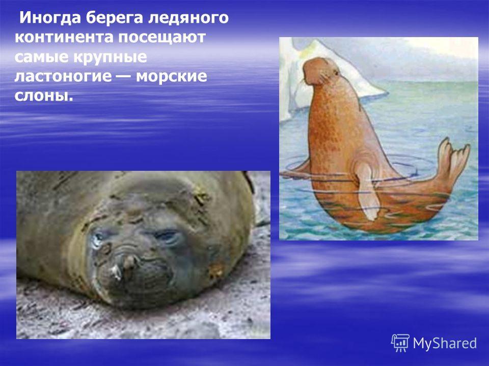 Иногда берега ледяного континента посещают самые крупные ластоногие морские слоны. Слон морской - тюлень такой, ловок он в воде морской. Он холодный океан ценит выше жарких стран! Иногда берега ледяного континента посещают самые крупные ластоногие мо