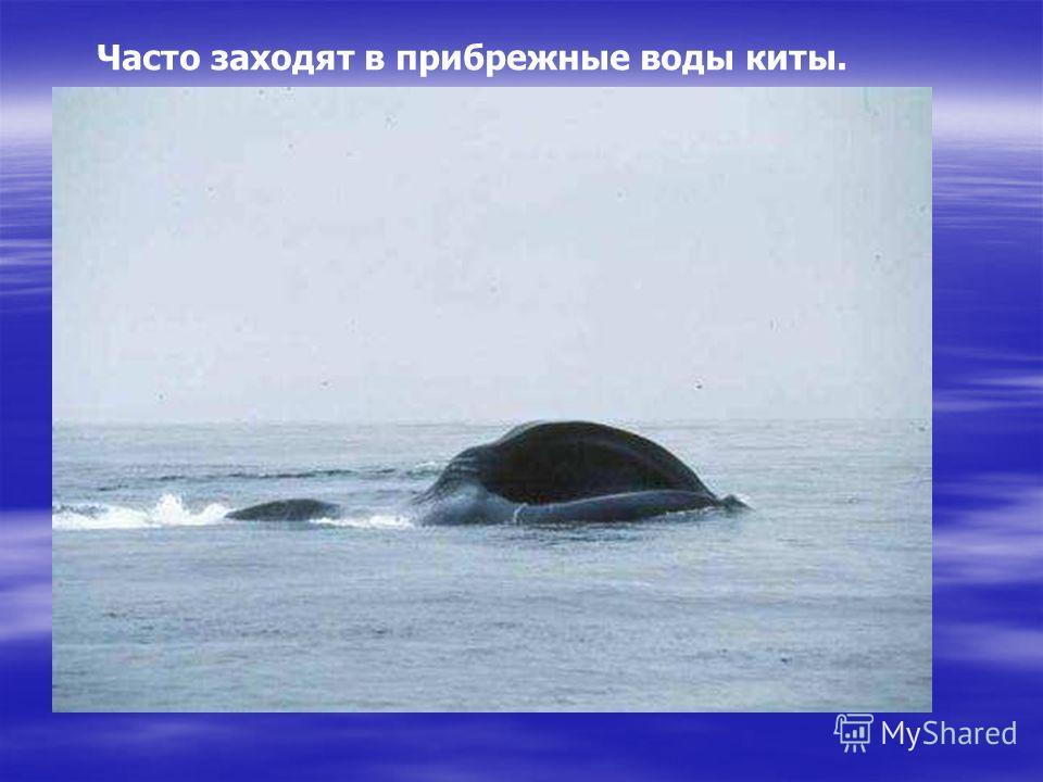 Часто заходят в прибрежные воды киты. Справа айсберг, слева кит. Он фонтаном знаменит! Кит, знакомый нам теперь - самый крупный в мире зверь. Часто заходят в прибрежные воды киты.