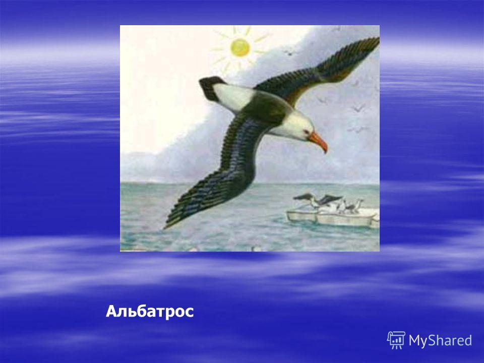 Альбатрос Кто в полете, грациозный, гордо спорит с бурей грозной? С бурей спорит альбатрос, сильный, смелый, как матрос!