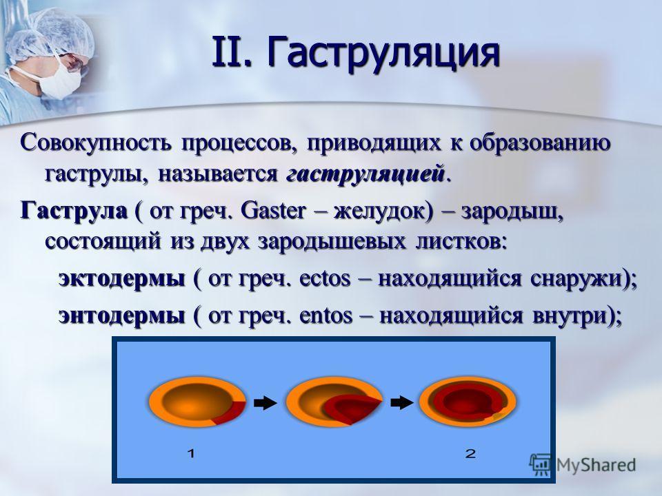 II. Гаструляция Совокупность процессов, приводящих к образованию гаструлы, называется гаструляцией. Гаструла ( от греч. Gaster – желудок) – зародыш, состоящий из двух зародышевых листков: эктодермы ( от греч. ectos – находящийся снаружи); эктодермы (
