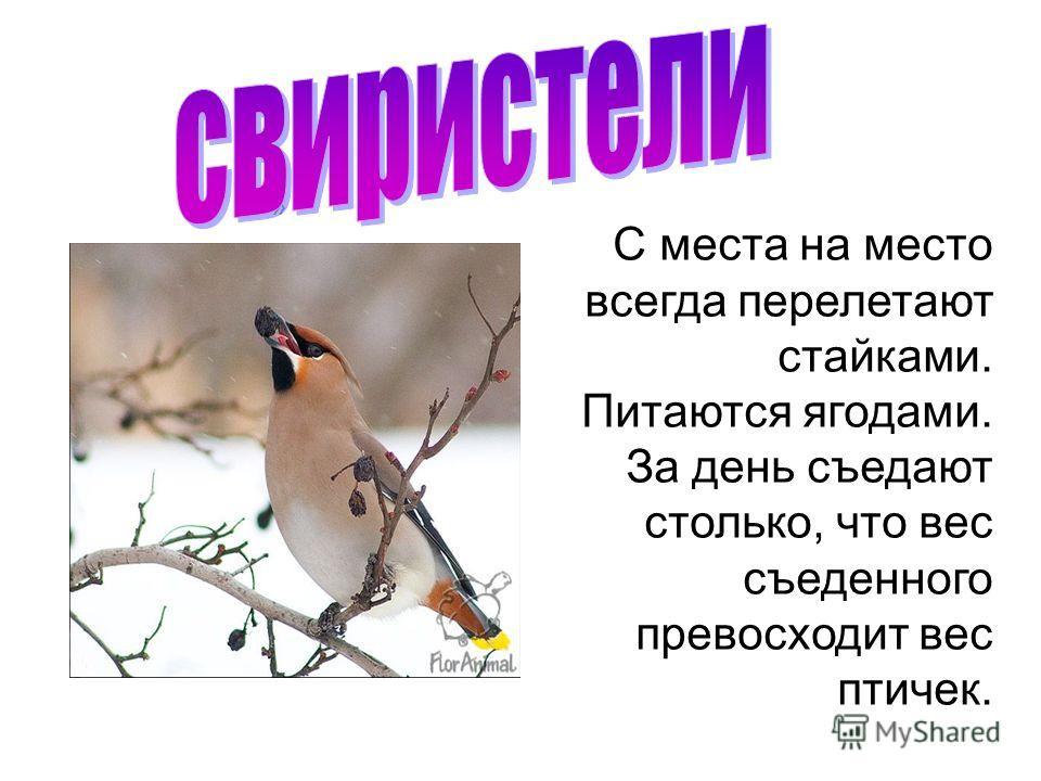 » С места на место всегда перелетают стайками. Питаются ягодами. За день съедают столько, что вес съеденного превосходит вес птичек.