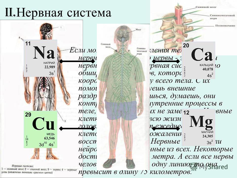II. Нервная система Если мозг - центр управления телом, всей нервной системы, то нервы - это кабели нервной системы. Нервная система - это обширная сеть нервов, которая координирует работу всего тела. С их помощью ты чувствуешь внешние раздражения, д