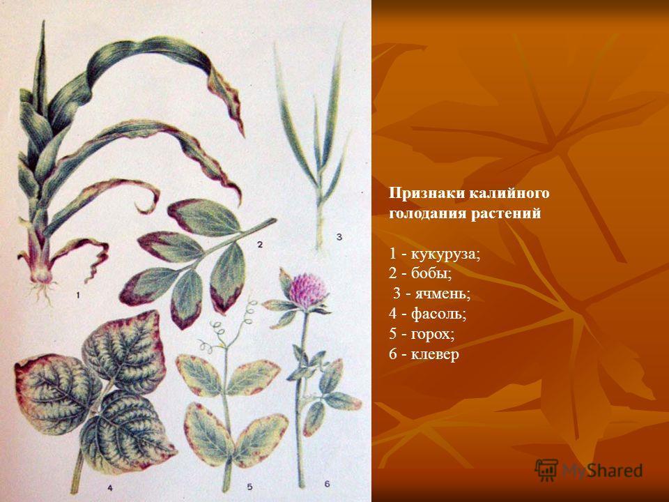 Признаки калийного голодания растений 1 - кукуруза; 2 - бобы; 3 - ячмень; 4 - фасоль; 5 - горох; 6 - клевер