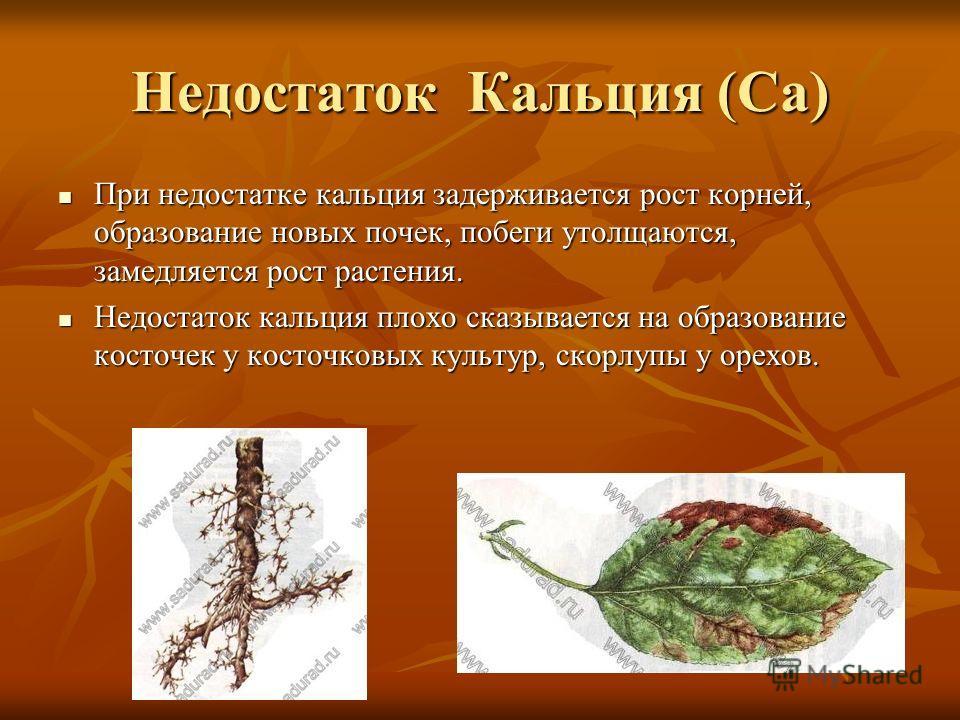 Недостаток Кальция (Са) При недостатке кальция задерживается рост корней, образование новых почек, побеги утолщаются, замедляется рост растения. При недостатке кальция задерживается рост корней, образование новых почек, побеги утолщаются, замедляется
