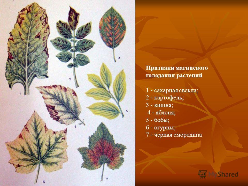 Признаки магниевого голодания растений 1 - сахарная свекла; 2 - картофель; 3 - вишня; 4 - яблоня; 5 - бобы; 6 - огурцы; 7 - черная смородина