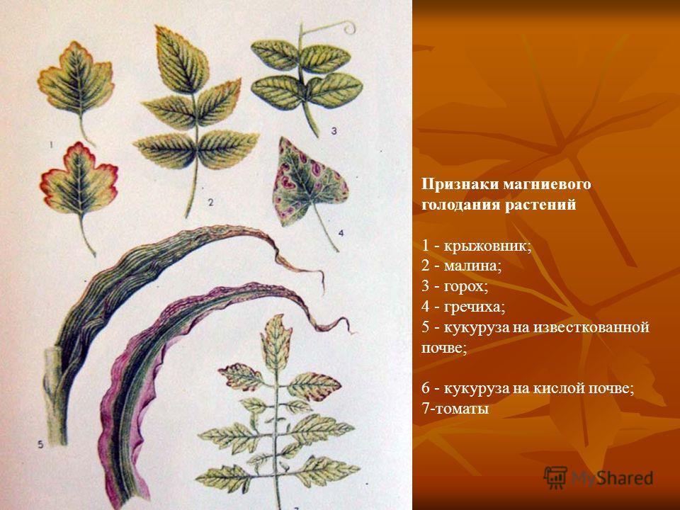 Признаки магниевого голодания растений 1 - крыжовник; 2 - малина; 3 - горох; 4 - гречиха; 5 - кукуруза на известкованной почве; 6 - кукуруза на кислой почве; 7-томаты