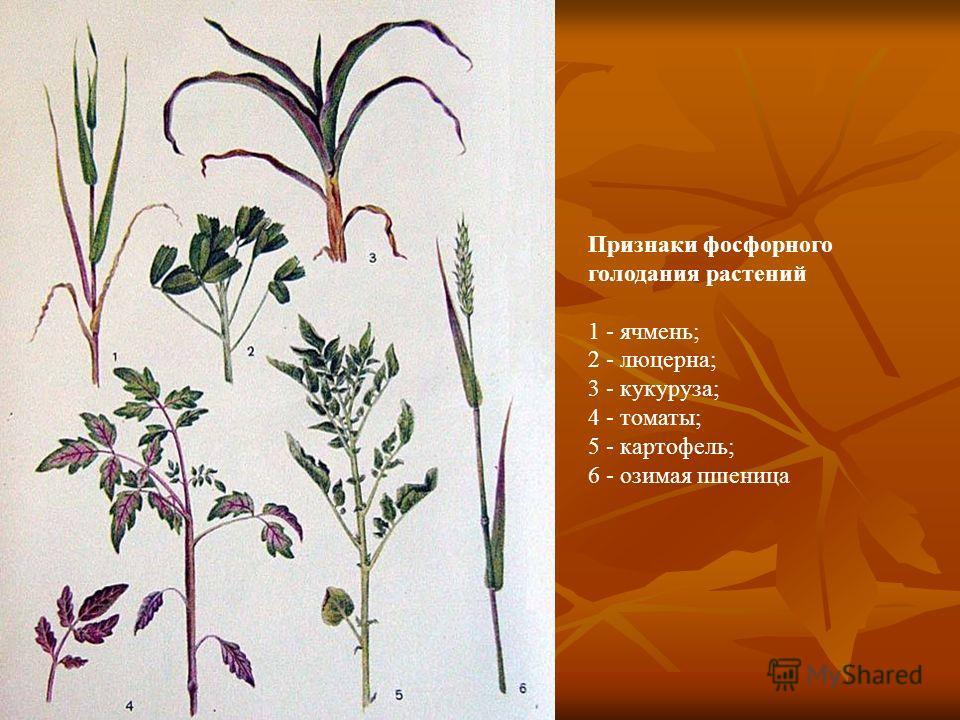 Признаки фосфорного голодания растений 1 - ячмень; 2 - люцерна; 3 - кукуруза; 4 - томаты; 5 - картофель; 6 - озимая пшеница