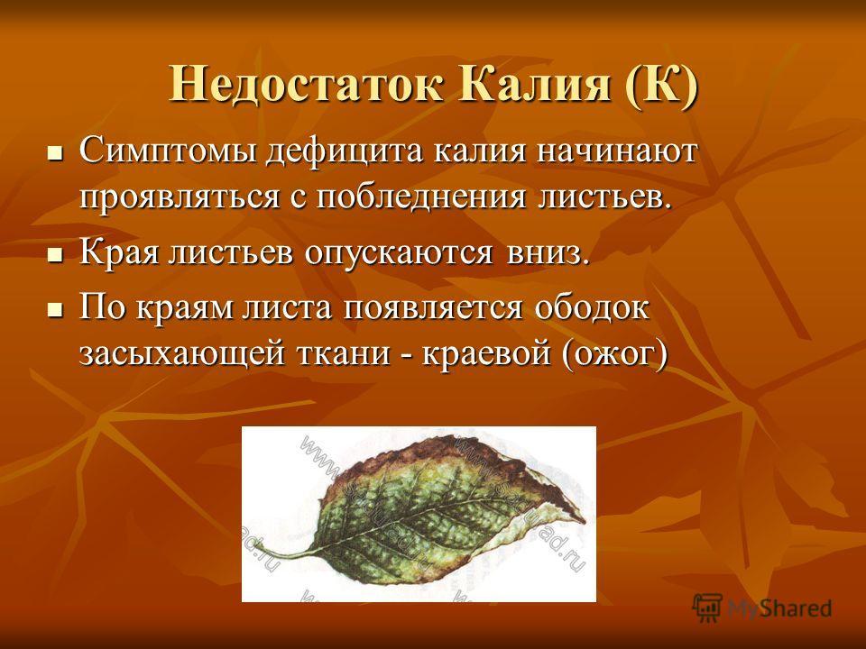 Недостаток Калия (К) Симптомы дефицита калия начинают проявляться с побледнения листьев. Симптомы дефицита калия начинают проявляться с побледнения листьев. Края листьев опускаются вниз. Края листьев опускаются вниз. По краям листа появляется ободок