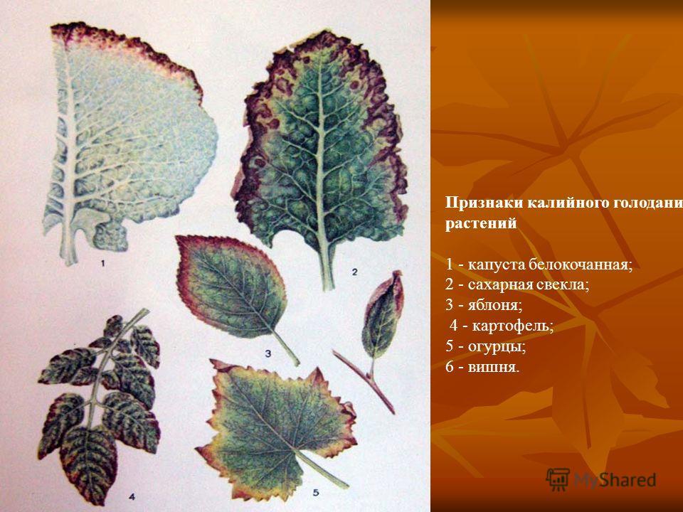 Признаки калийного голодания растений 1 - капуста белокочанная; 2 - сахарная свекла; 3 - яблоня; 4 - картофель; 5 - огурцы; 6 - вишня.