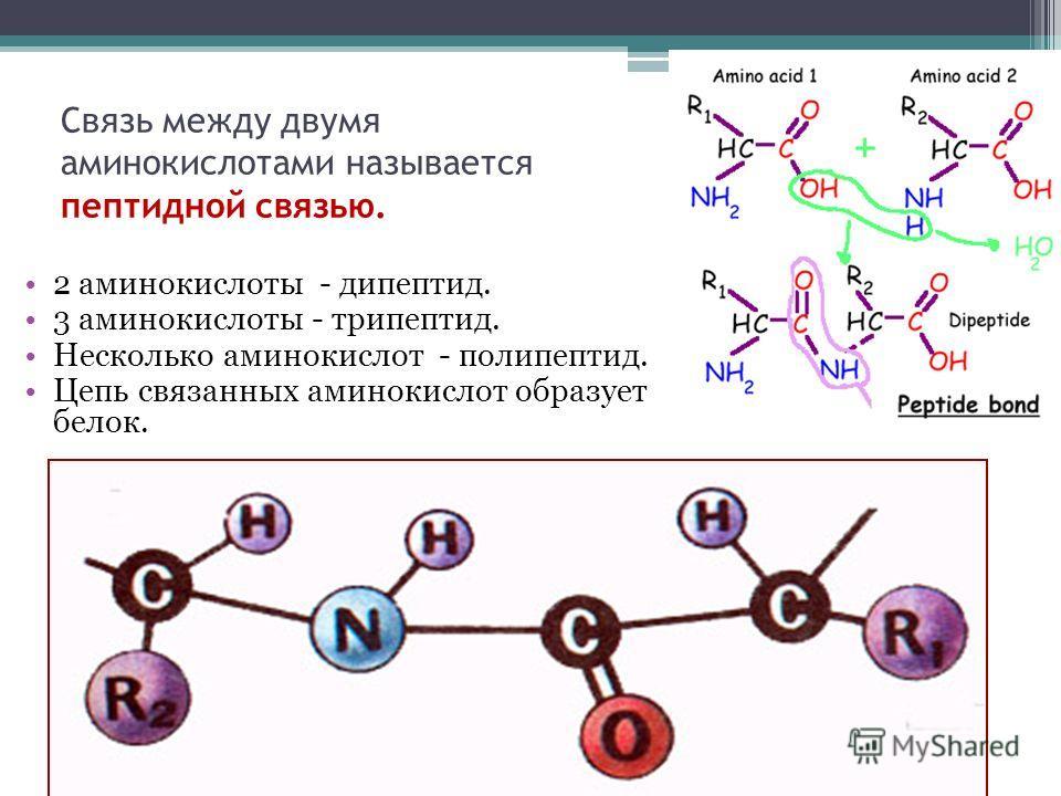Связь между двумя аминокислотами называется пептидной связью. 2 аминокислоты - дипептид. 3 аминокислоты - трипептид. Несколько аминокислот - полипептид. Цепь связанных аминокислот образует белок.